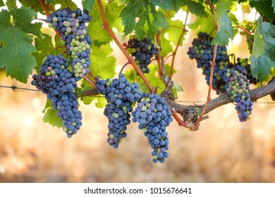 Bunches of colorful wine grapes on summer vine with warm background glow.