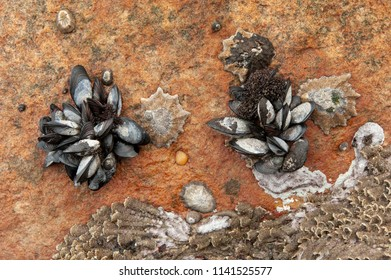 Bunches of common blue mussels exposed during low tide, each one with a limpet as neighbor. Clarence drive, Kogel bay, False bay, Western Cape, South Africa. Mytilus edulis.