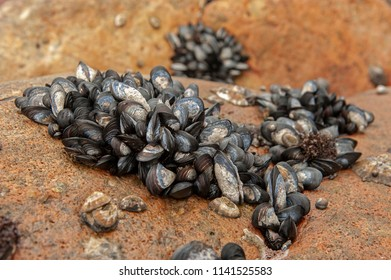 Bunches of common blue mussels exposed during low tide, Clarence drive, Kogel bay, False bay, Western Cape, South Africa. Mytilus edulis.