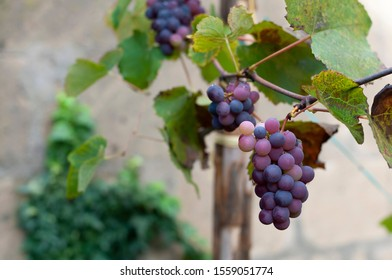 bunches of dark grapes in the rain