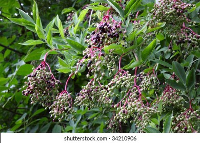Bunches of elderberries (Sambucus Nigra) hanging from a bush