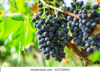 Bunches of fresh dark black ripe grape on green leafs under soft sunlight at the havest season, planting in the organic vineyard farm to produce the red wine