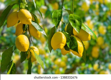 Bunches of fresh yellow ripe lemons on lemon tree branches in Italian garden