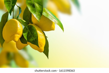Bunches of fresh yellow ripe lemons with green leaves on blurred background with copyspace. Lemon is species of small evergreen tree.
