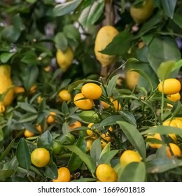 Bunches of fresh yellow ripe lemons on lemon tree branches.