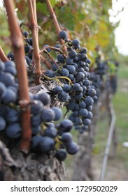 the bunches of grape in vineyard