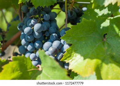 bunches of grapes in harvest time