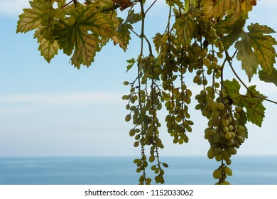 Bunches of grapes. Mediterranean Sea on the background.