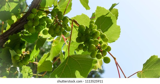Bunches of grapes at the vineyard