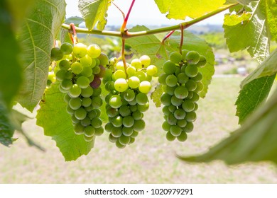bunches of green grapes hanging on the vine