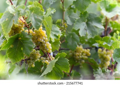Bunches of green grapes on vine at summer day.