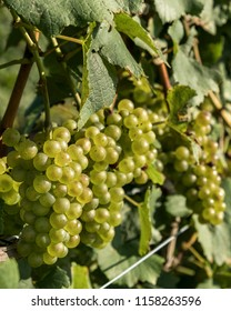 Bunches of green grapes ready for harvest in Niagara on the Lake Ontario Canada.