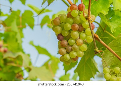 Bunches of green grapes still on the tree