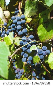 bunches of Isabella grapes ripen in the sun, close-up