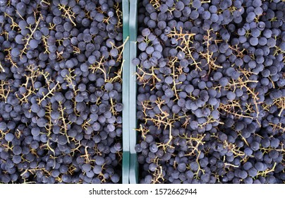 Bunches of Isabella grapes stacked in the plastic boxes.  Bunches of grapes for winemaking.