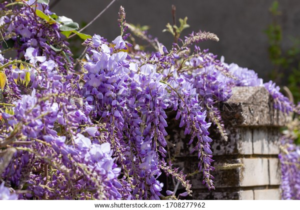 Bunches of lilac wisteria hang over a stone fence on a sunny spring day