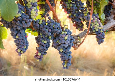 Bunches of multicolored red wine grapes on vine, warm glowing background grass.
