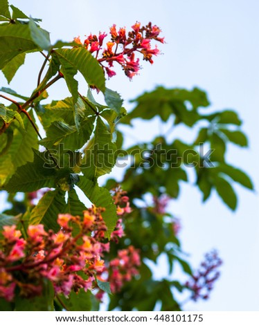 Bunches pink flowers horsechestnut tree against stock photo edit bunches of pink flowers of the horse chestnut tree against the blue sky mightylinksfo