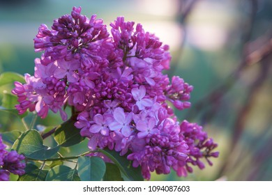 Bunches of pink fragrant Lilacs in spring season.
