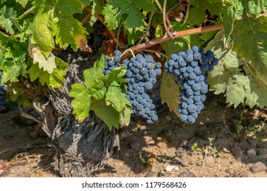 Bunches of red grapes growing in one of the vineyards in Toro, in province of Zamora, Spain