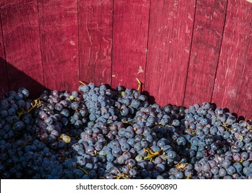 Bunches of red grapes ready to be pressed with the feet following ancient traditions and producing genuine wine.
