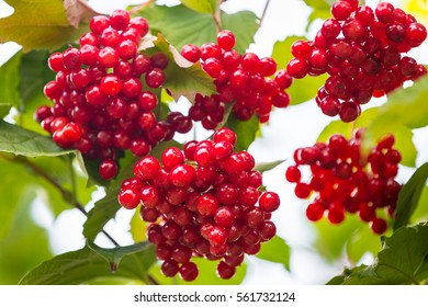Bunches of red viburnum berries in the garden close up