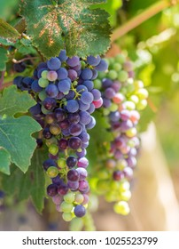 Bunches of red wine grapes in bright sunlight on the vineyard. Grapevine of Pinot Noir close-up - vertical photo of colored vine berries for your stories of winemaking in France.