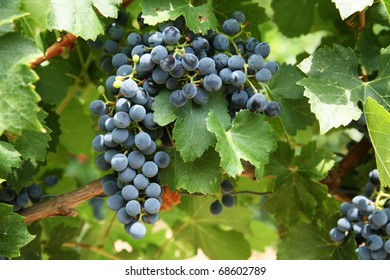 Bunches of red wine grapes in french vineyard