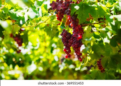 Bunches of red wine grapes hanging on the vine in late afternoon sun