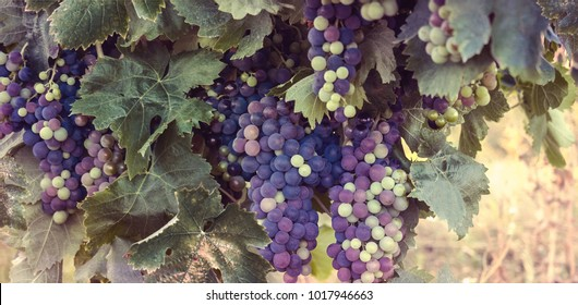 Bunches of red wine grapes on French vineyard at autumn. Grapevine plantation of pinot noir close-up - horizontal banner or header background for your stories of winemaking or viticulture.
