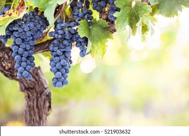 Bunches of red wine grapes on vine