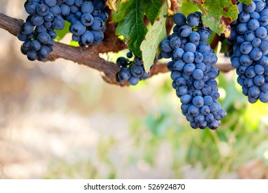 Bunches of red wine grapes on vine, close-up