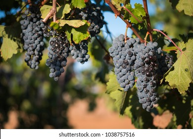 Bunches of red wine grapes ready for harvest on summer vine in warm daylight.