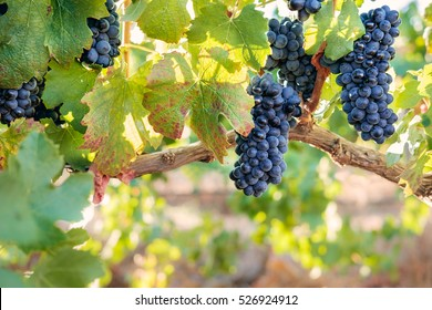 Bunches of red wine grapes in vineyard