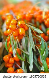 Bunches of ripe fresh sea buckthorn in the garden on a sunny day. Close-up, selective focus, shallow depth of field.