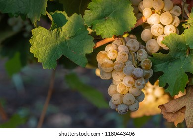 Bunches of ripe grape on plantation closeup. Riesling grapes. Vine stock at wine yard.