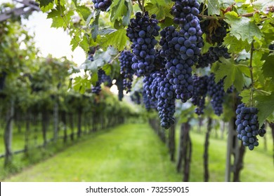 Bunches of ripe grapes before harvest.