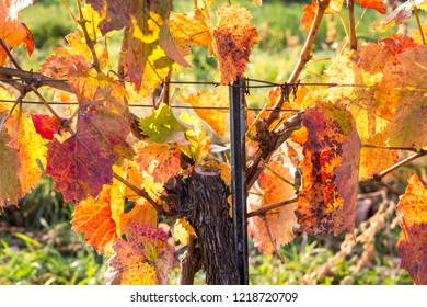 Bunches of ripe grapes growing on grapevine in autumn vibrant colors. Burgenland, Austria.