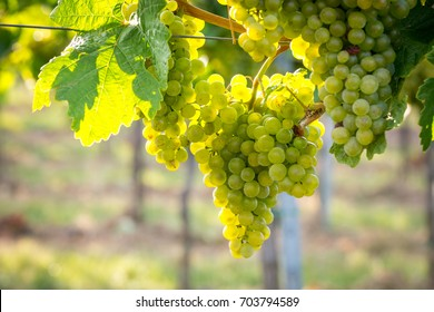 Bunches of ripe grapes growing on grapevine at sunset. Ready for harvest.