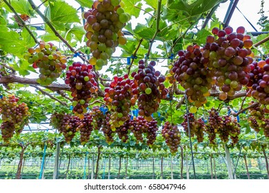 Bunches of ripe grapes in a vineyard  before harvest.
