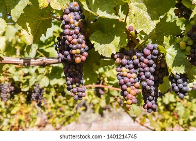 bunches of ripe Merlot grapes on vine in vineyard at harvest time