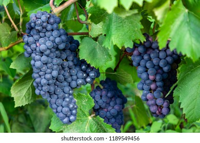 bunches of ripe red wine grapes with leaves close up