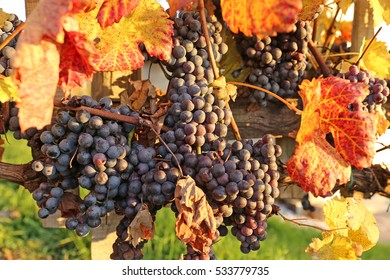 Bunches of ripe red wine grapes in a vineyard, lit by autumn evening sunlight