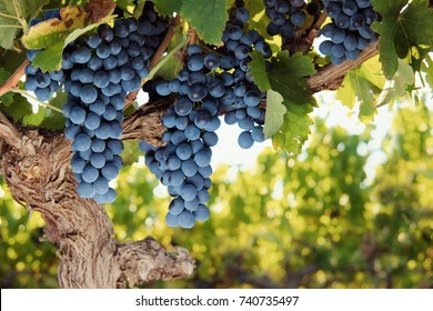 Bunches of ripe red wine grapes on old vine with blurred summer vines background