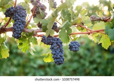 Bunches of ripe Shiraz grapes on vine in back-lit vineyard scene.