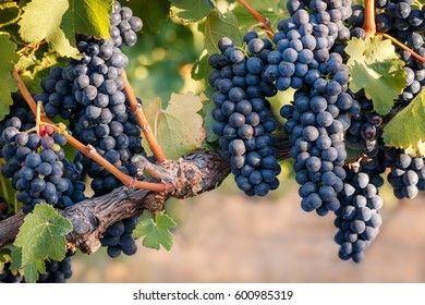 Bunches of ripe Shiraz red wine grapes on vine with warm earth background.