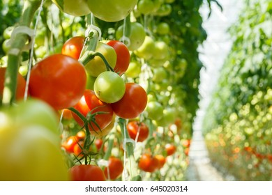 Bunches of ripe tomatoes in a greenhouse