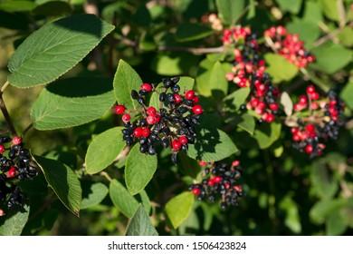 Bunches of ripe viburnum gordoviny on a branch