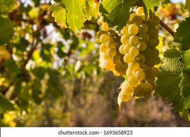 bunches or ripe white riesling grapes growing in organic vineyard at harvest time with copy space on left