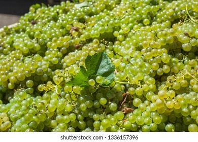 Bunches of Sauvignon Blanc grapes in vineyard in harvest time